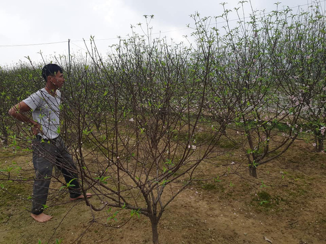 Hoa đào nở sớm, nông dân thấp thỏm lo mất Tết - Ảnh 5.