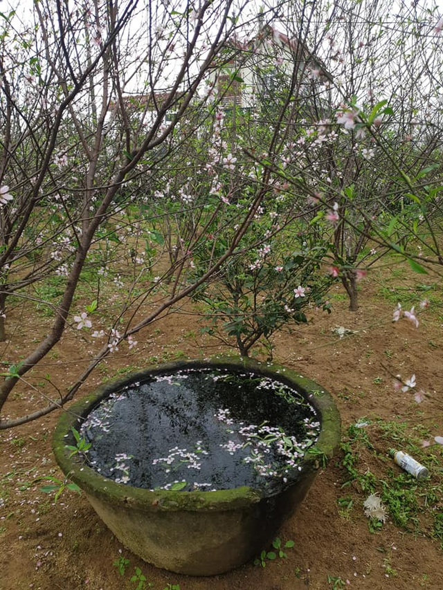 Hoa đào nở sớm, nông dân thấp thỏm lo mất Tết - Ảnh 7.