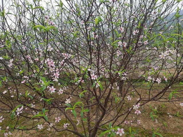 Hoa đào nở sớm, nông dân thấp thỏm lo mất Tết - Ảnh 8.