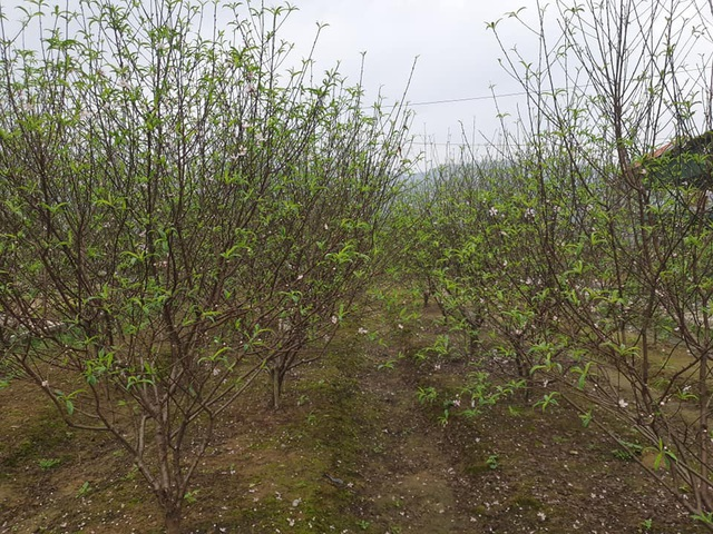 Hoa đào nở sớm, nông dân thấp thỏm lo mất Tết - Ảnh 9.