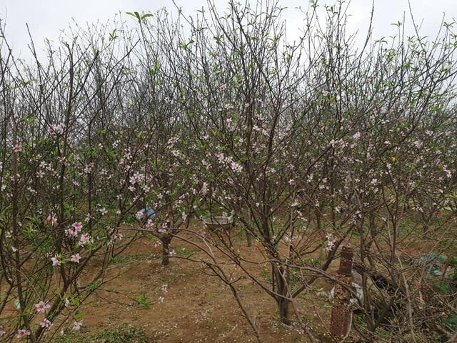Hoa đào nở sớm, nông dân thấp thỏm lo mất Tết - Ảnh 11.