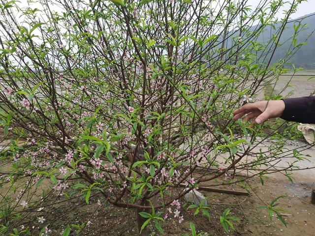 Hoa đào nở sớm, nông dân thấp thỏm lo mất Tết - Ảnh 13.