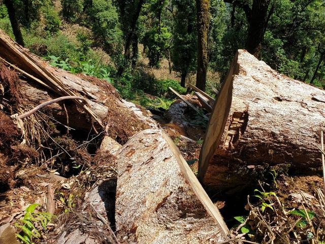 """Yên Bái: Khu bảo tồn loài sinh vật cảnh """"chảy máu"""", gỗ quý bị chặt hạ, xẻ hộp la liệt - Ảnh 3."""