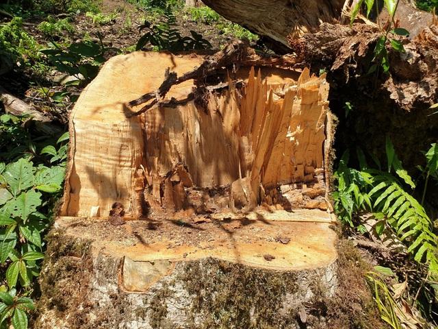 """Yên Bái: Khu bảo tồn loài sinh vật cảnh """"chảy máu"""", gỗ quý bị chặt hạ, xẻ hộp la liệt - Ảnh 5."""