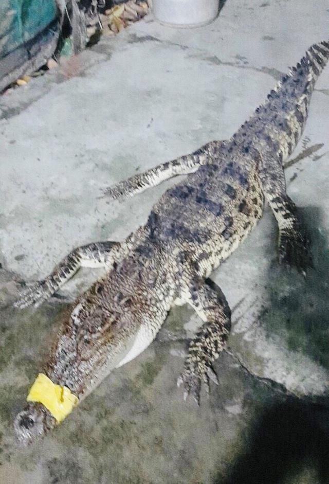 Cá sấu 10 kg xuất hiện trên bờ ao nuôi tôm - Ảnh 1.