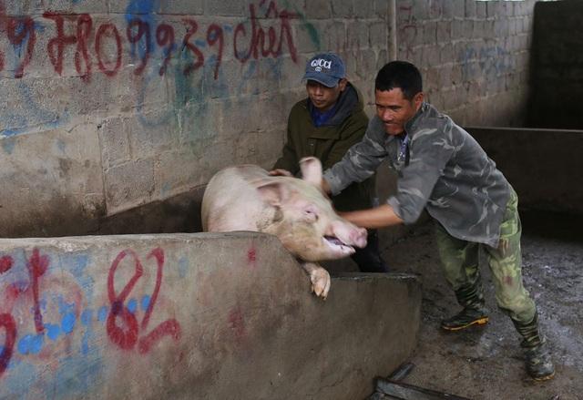 """Nghịch lý giá lợn hơi """"tăng đà"""" là do tiểu thương bán tháo chạy dịch? - Ảnh 2."""