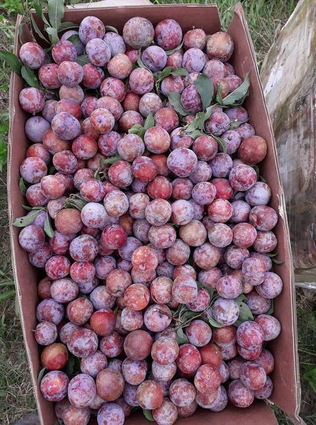 Loạn giá mận Mộc Châu trái mùa bán trên chợ mạng, tiểu thương nhét túi vài triệu/ngày - Ảnh 11.