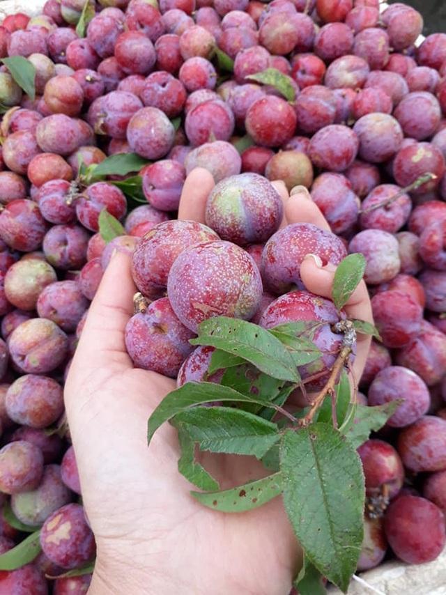 Loạn giá mận Mộc Châu trái mùa bán trên chợ mạng, tiểu thương nhét túi vài triệu/ngày - Ảnh 12.