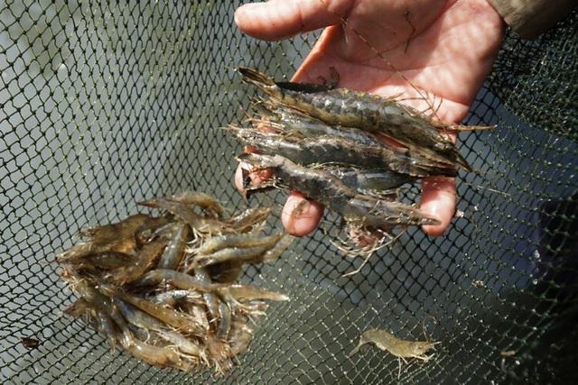 Kiếm vài trăm nghìn đồng nhờ bắt tôm đất trong rừng ngập mặn  - Ảnh 2.