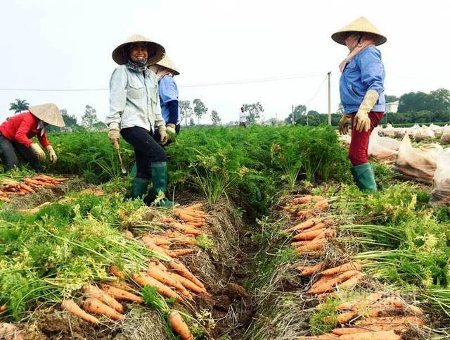 Cánh đồng 100 tỷ đồng rực 1 màu đỏ hiếm có Việt Nam - Ảnh 5.