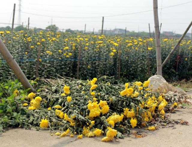 Không tìm được nơi tiêu thụ, nông dân Tây Tựu ngậm ngùi vứt bỏ hoa đầy ruộng - Ảnh 11.
