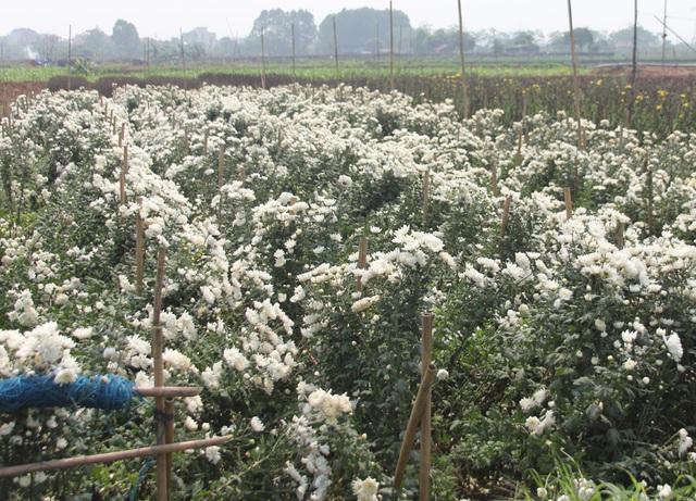 Không tìm được nơi tiêu thụ, nông dân Tây Tựu ngậm ngùi vứt bỏ hoa đầy ruộng - Ảnh 6.