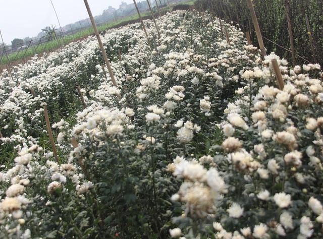 Không tìm được nơi tiêu thụ, nông dân Tây Tựu ngậm ngùi vứt bỏ hoa đầy ruộng - Ảnh 7.