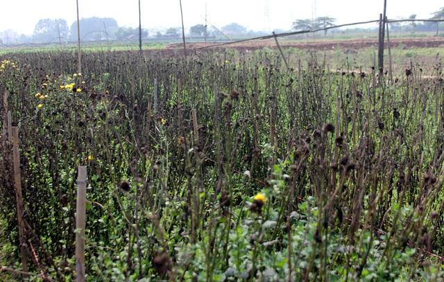 Không tìm được nơi tiêu thụ, nông dân Tây Tựu ngậm ngùi vứt bỏ hoa đầy ruộng - Ảnh 8.