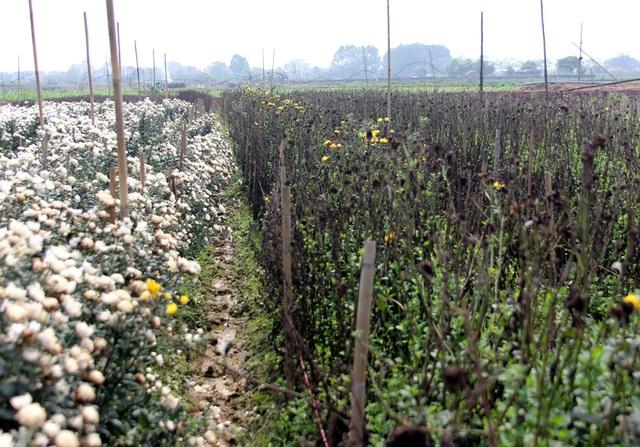 Không tìm được nơi tiêu thụ, nông dân Tây Tựu ngậm ngùi vứt bỏ hoa đầy ruộng - Ảnh 9.