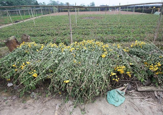 Không tìm được nơi tiêu thụ, nông dân Tây Tựu ngậm ngùi vứt bỏ hoa đầy ruộng - Ảnh 13.