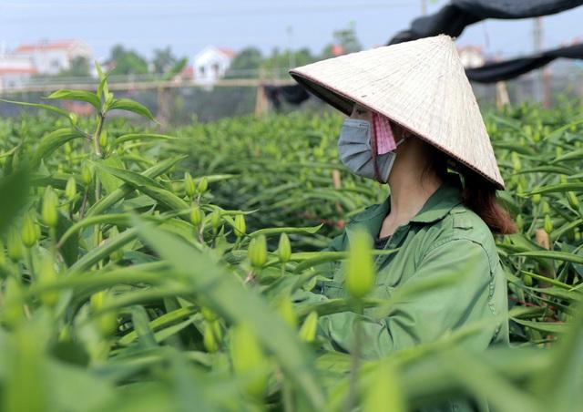 Không tìm được nơi tiêu thụ, nông dân Tây Tựu ngậm ngùi vứt bỏ hoa đầy ruộng - Ảnh 16.
