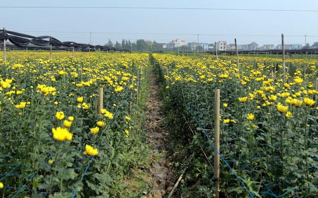 Không tìm được nơi tiêu thụ, nông dân Tây Tựu ngậm ngùi vứt bỏ hoa đầy ruộng - Ảnh 4.