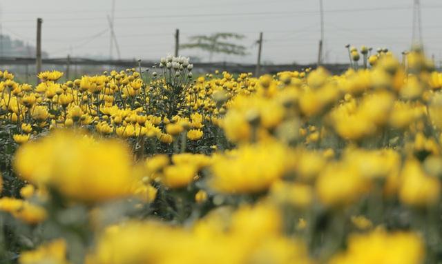 Không tìm được nơi tiêu thụ, nông dân Tây Tựu ngậm ngùi vứt bỏ hoa đầy ruộng - Ảnh 5.