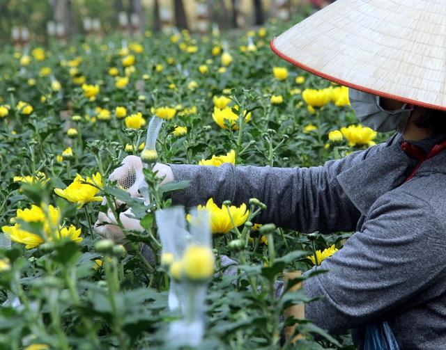 Hà Nội: Hoa tươi rẻ chạm đáy, nhiều nông dân Tây Tựu thua lỗ - Ảnh 1.