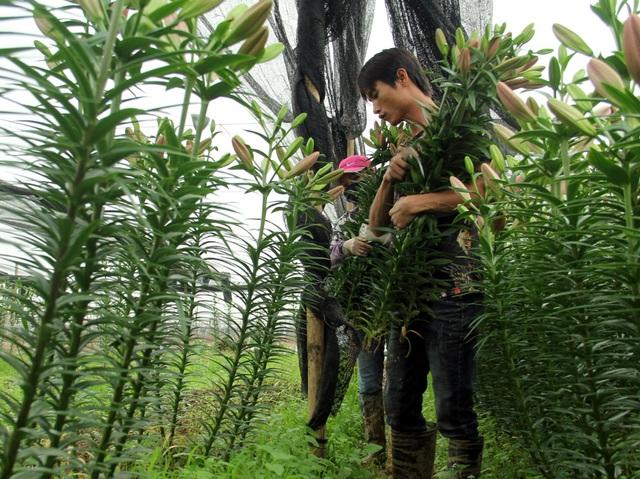 Hà Nội: Hoa tươi rẻ chạm đáy, nhiều nông dân Tây Tựu thua lỗ - Ảnh 9.
