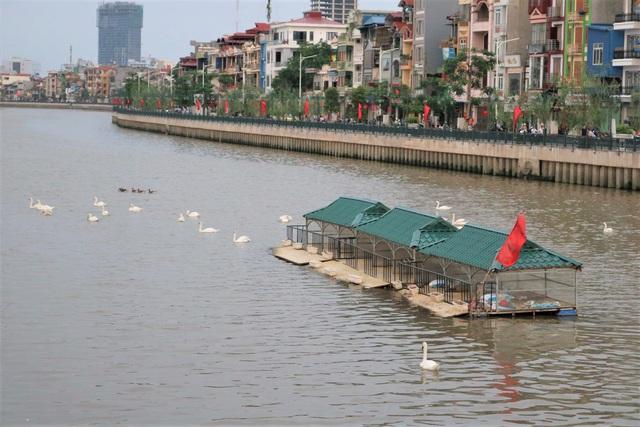 Hải Phòng: Người dân kéo về sông Tam Bạc ngắm thiên nga  - Ảnh 4.