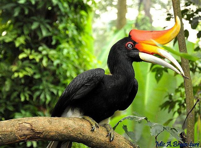 Phượng hoàng đất - loài chim đẹp như mơ bay lạc vào vườn của chàng trai trẻ - Ảnh 2.