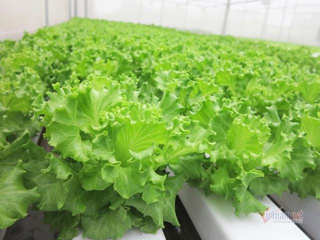 Bỏ ngân hàng về trồng rau, làm vì đam mê thu đều 600 triệu/tháng - Ảnh 6.