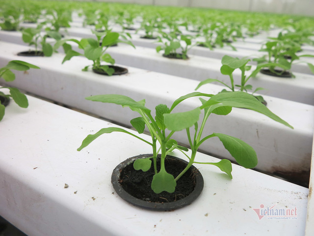 Bỏ ngân hàng về trồng rau, làm vì đam mê thu đều 600 triệu/tháng - Ảnh 9.