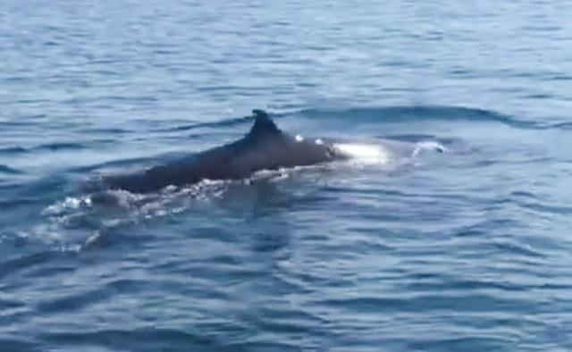 Cá voi xuất hiện ở biển Cù Lao Chàm - Ảnh 1.