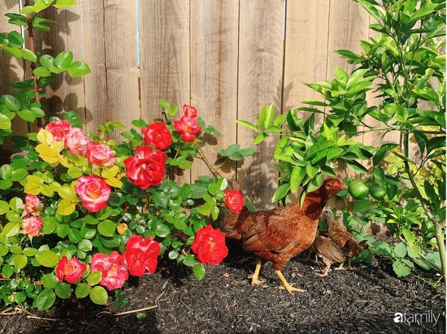 Cuộc sống bình yên, hòa mình cùng thiên nhiên khi trồng rau nuôi gà trong mảnh vườn 650m² của mẹ Việt ở Mỹ - Ảnh 7.