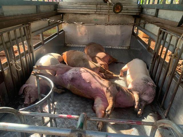 Kinh hoàng: Bắt quả tang vụ mổ thịt nhiều con heo chết từ lâu để bán - Ảnh 2.