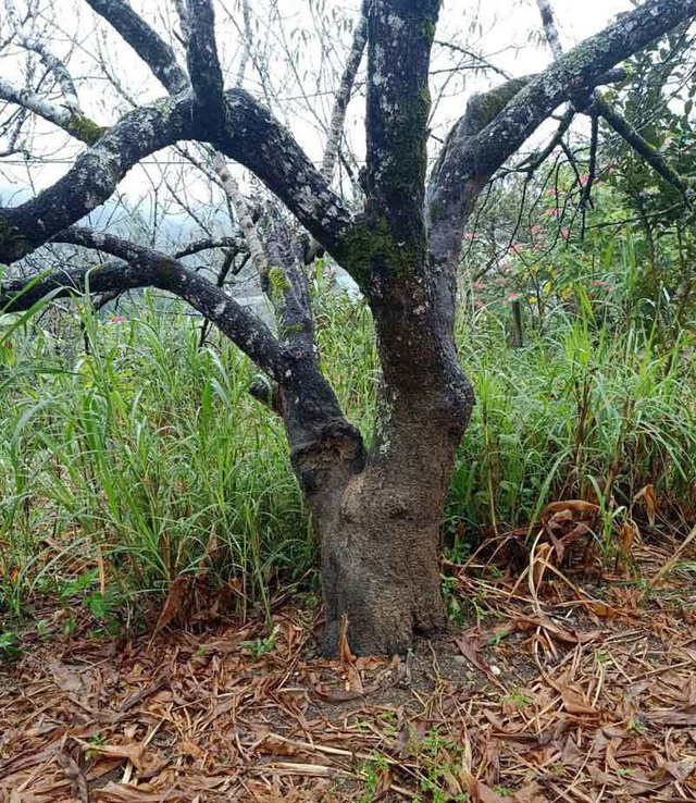 Dân buôn tiết lộ mùa Tết bán 800 cành đào rừng - Ảnh 4.