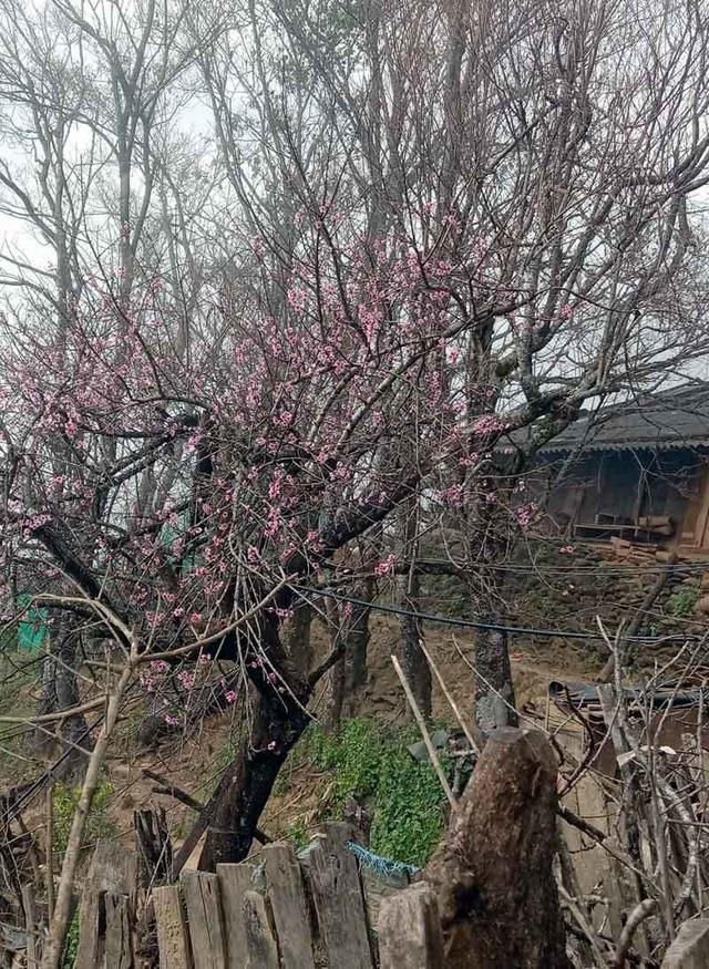 Dân buôn tiết lộ mùa Tết bán 800 cành đào rừng - Ảnh 5.