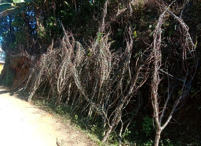 Dân buôn tiết lộ mùa Tết bán 800 cành đào rừng - Ảnh 6.