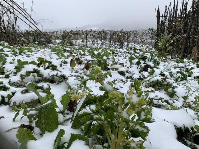 عکس: سفید پوشیده از برف ، لائو کای به زیبایی اروپا بود ، کشاورز دوباره فریاد زد ، و صدمات زیادی به سبزیجات وارد کرد - عکس 8.