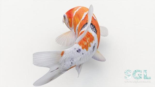 Cá Koi - hướng dẫn phân loại, giá bán và cách chăm sóc - Ảnh 2.