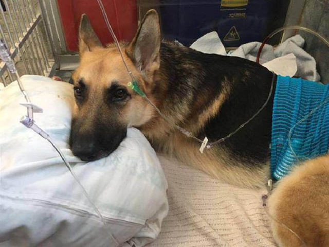 سگ خانگی در حیاط بازی می کرد و به سمت آن هجوم آورد ، گویی که به یک صاحب 7 ساله حمله کرد ، مادربزرگ دوید تا کل بدن حیوان پر از خون را پیدا کند - عکس 7.
