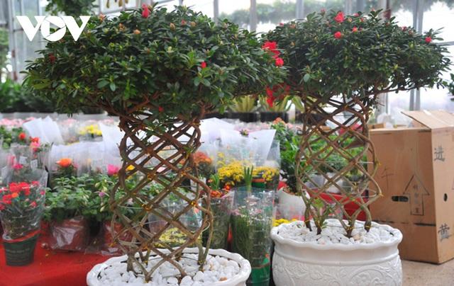 گیاهان زینتی نفیس امسال بر بازار Tet تسلط دارند - عکس 2.
