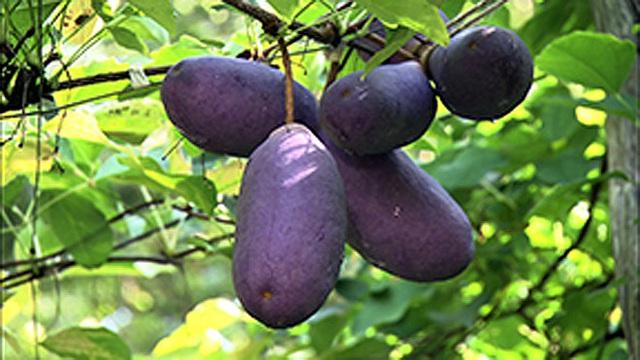 شما می خواهید در هنگام Tet استقبال شما متفاوت باشد: این انگور بنفش را بخرید - تصویر 5.