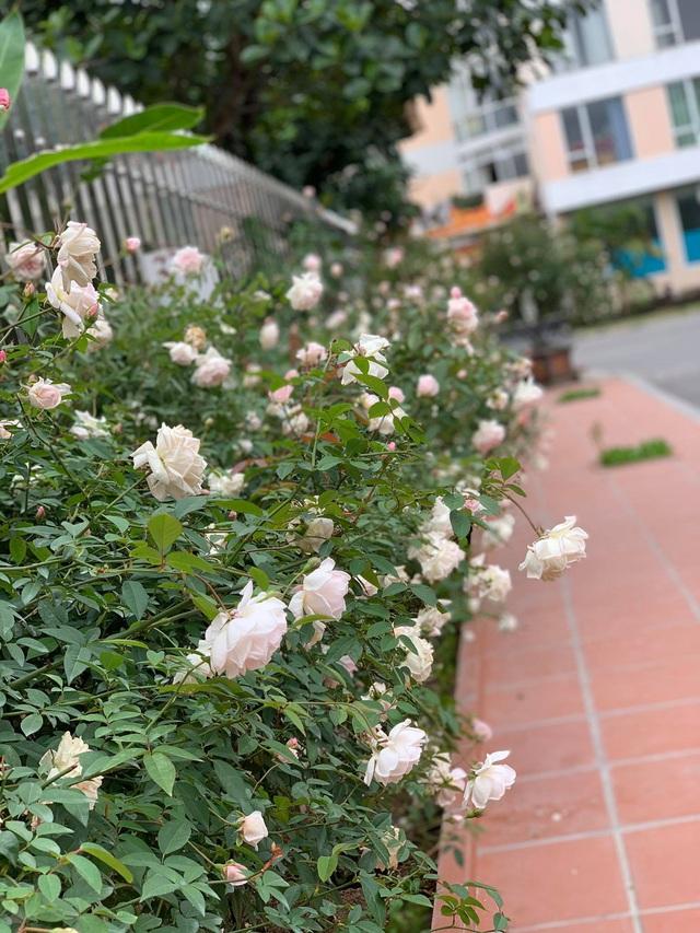 Ngôi nhà quanh năm rực rỡ sắc hương hoa hồng và đủ loại cây ăn quả ở Hà Nội - Ảnh 13.