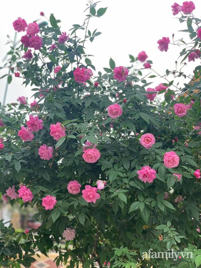 Ngôi nhà quanh năm rực rỡ sắc hương hoa hồng và đủ loại cây ăn quả ở Hà Nội - Ảnh 15.