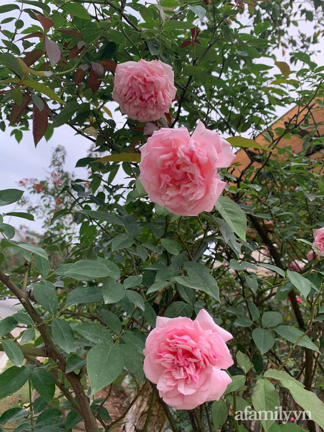 Ngôi nhà quanh năm rực rỡ sắc hương hoa hồng và đủ loại cây ăn quả ở Hà Nội - Ảnh 19.