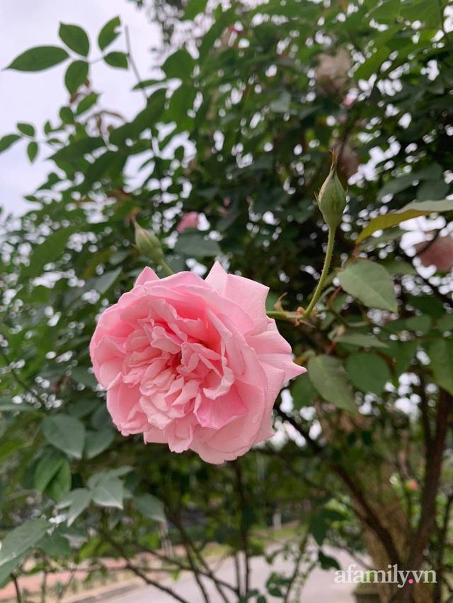 Ngôi nhà quanh năm rực rỡ sắc hương hoa hồng và đủ loại cây ăn quả ở Hà Nội - Ảnh 21.