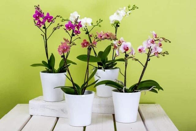 Cùng nghe chị bán hoa lan 10 năm hướng dẫn cách chọn hoa đẹp chuẩn chỉnh cho ngày Tết - Ảnh 4.