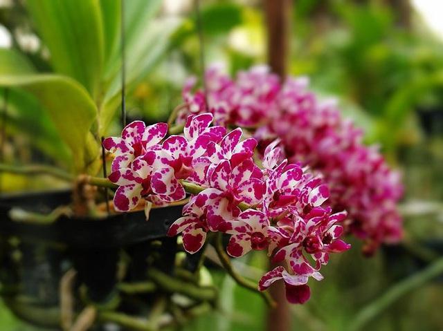 Cùng nghe chị bán hoa lan 10 năm hướng dẫn cách chọn hoa đẹp chuẩn chỉnh cho ngày Tết - Ảnh 5.