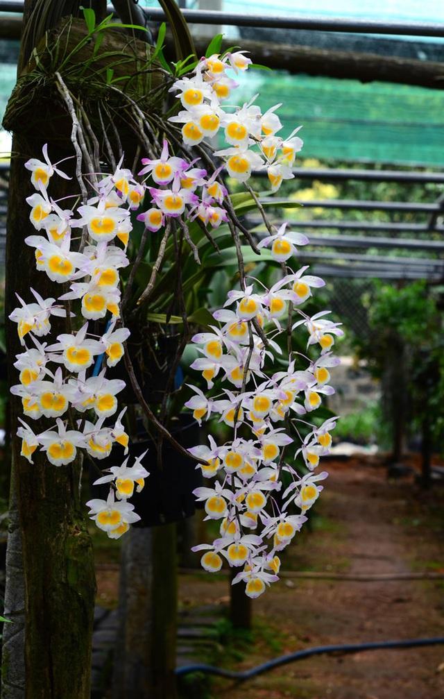 Cùng nghe chị bán hoa lan 10 năm hướng dẫn cách chọn hoa đẹp chuẩn chỉnh cho ngày Tết - Ảnh 7.