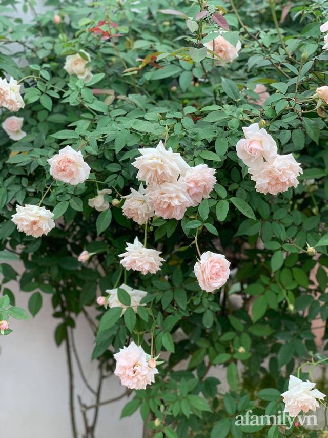 Ngôi nhà quanh năm rực rỡ sắc hương hoa hồng và đủ loại cây ăn quả ở Hà Nội - Ảnh 10.