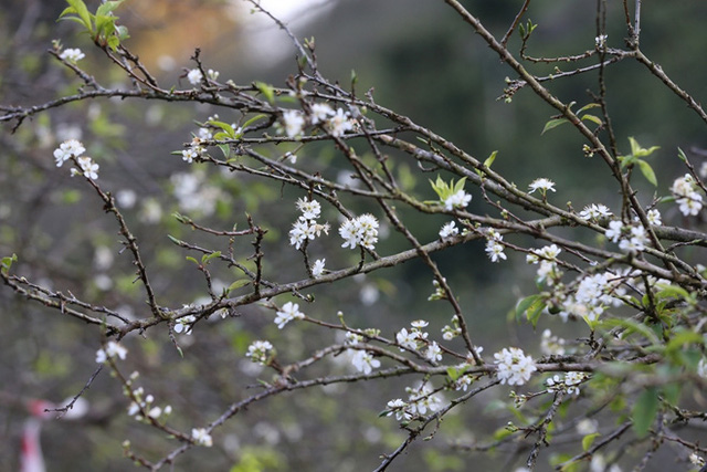 Cấm chặt đào rừng, hoa mận rừng siêu đắt vẫn được dân Hà thành vung tiền để chơi Tết - Ảnh 1.