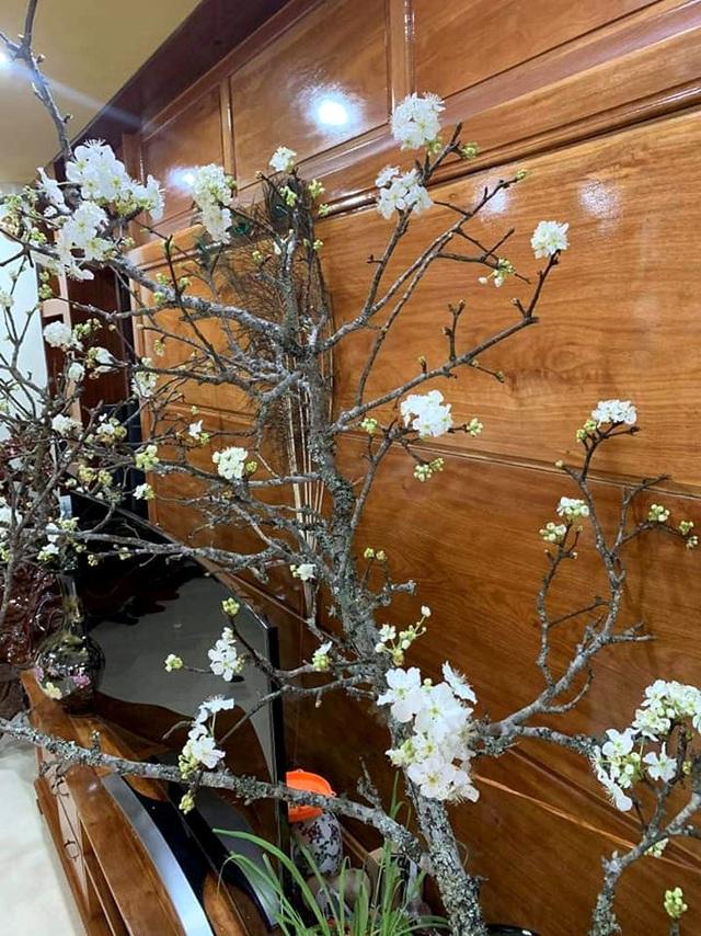 Cấm chặt đào rừng, hoa mận rừng siêu đắt vẫn được dân Hà thành vung tiền để chơi Tết - Ảnh 5.